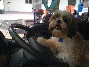 Pet Taxi Singapore 24 hour Emergency happyboy puppy